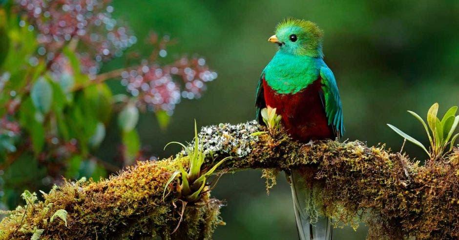 Un quetzal posa sobre la rama de un árbol