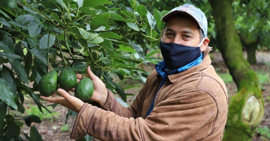 Un productor corta aguacate de un árbol