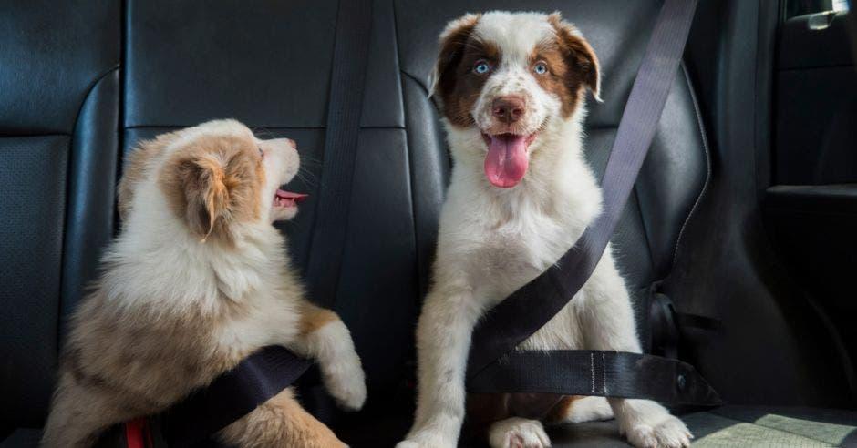 Dos perros en la parte de atrás del auto y sujetados con cinturón de seguridad