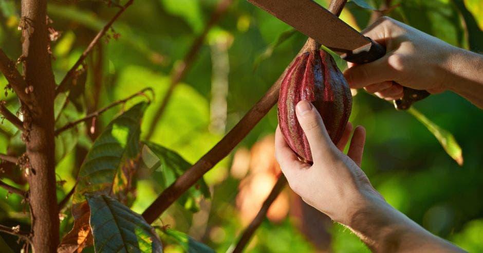 Un hombre corta un cacao directamente desde un árbol