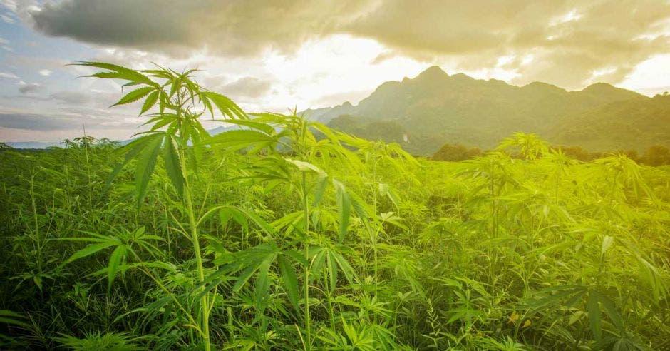 Un sembradío extenso de marihuana