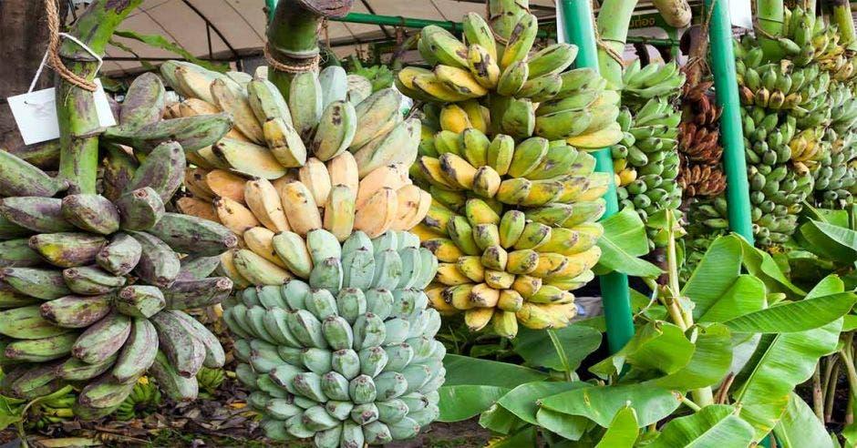 varios racimos de banano colgando en un puesto de frutas