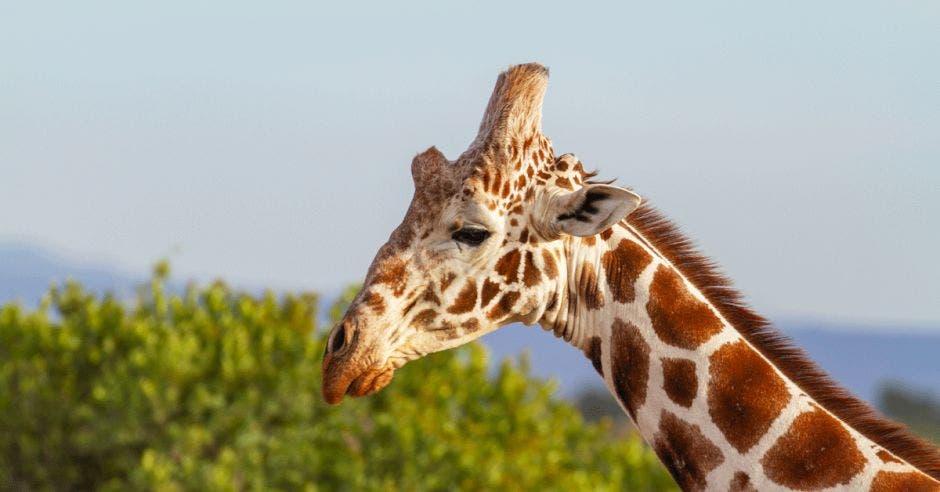 Una jirafa come de la copa de un árbol