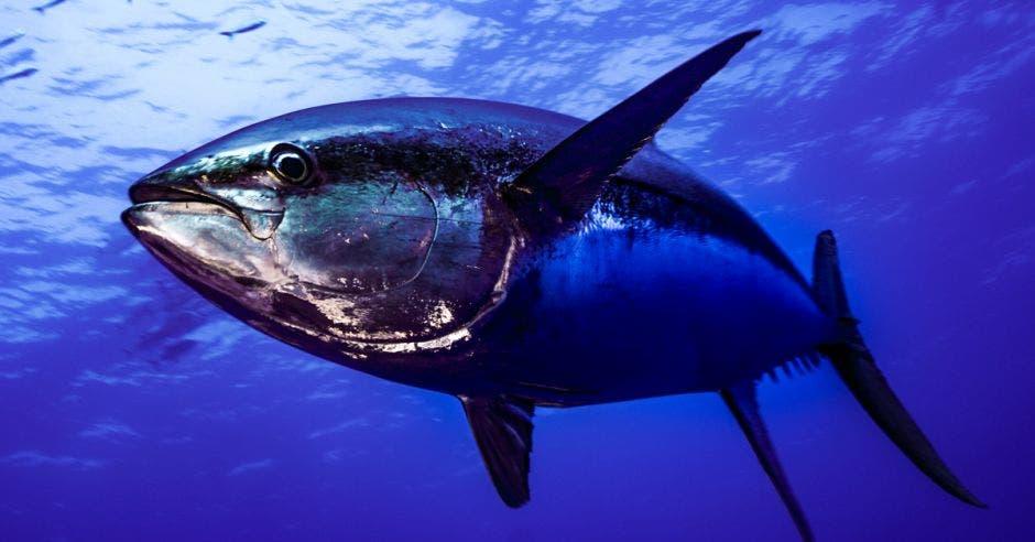 un pez de gran tamaño nada en el mar