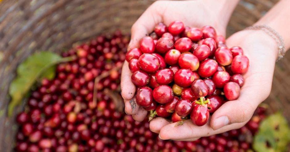Una cesta llena del fruto rojo del café