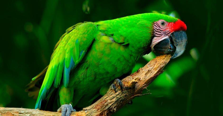 Pájaro salvaje en el hábitat natural, sentado en la rama en Costa Rica