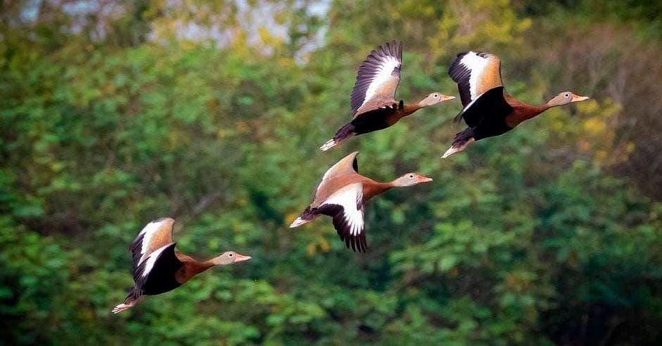 Una bandada de cuatro patos café vuela