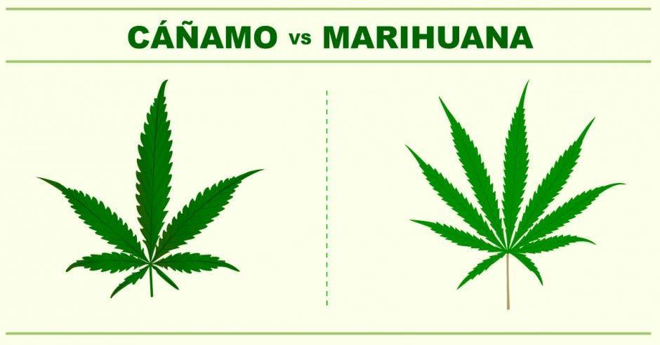 una planta de cáñamo junta a una de marihuana