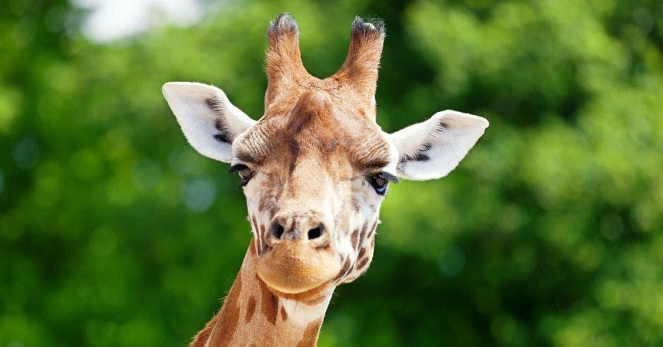 Una jirafa en primer plano sobre un fondo boscoso
