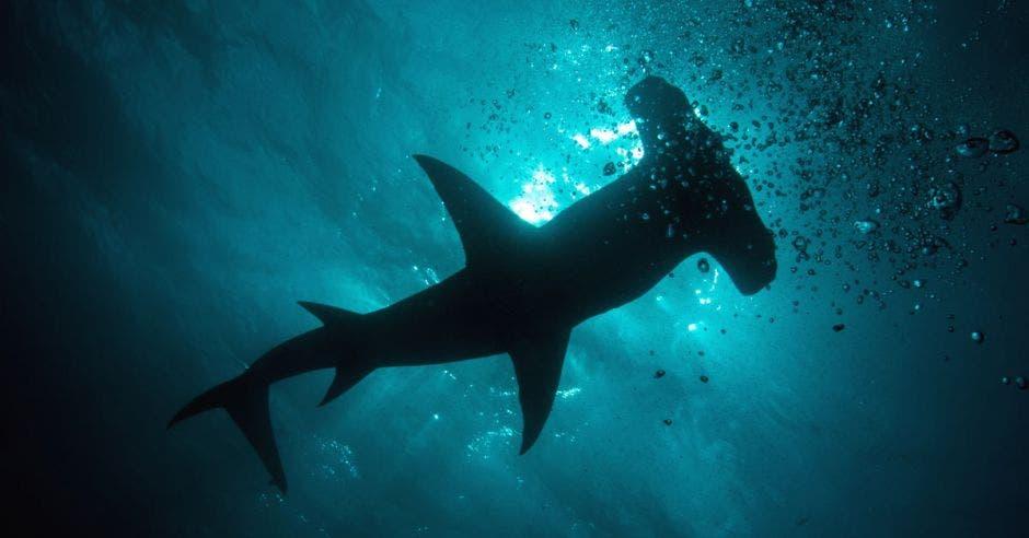 sombra de un tiburón martillo en el agua