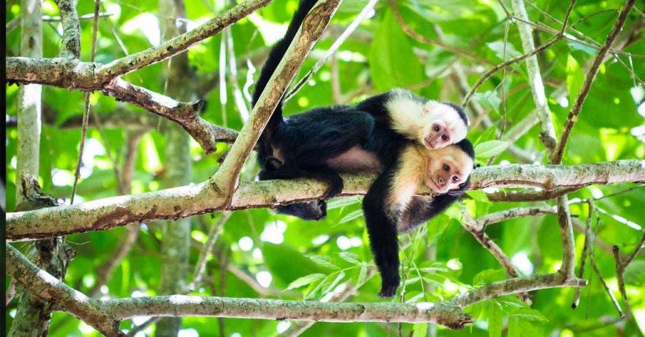 dos monos capuchinos sobre un árbol