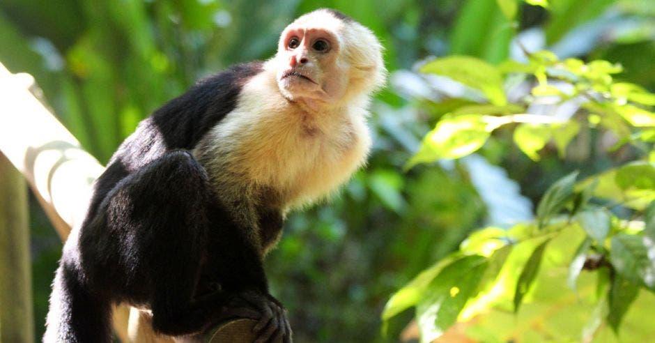 un mono capuchino sobre un árbol