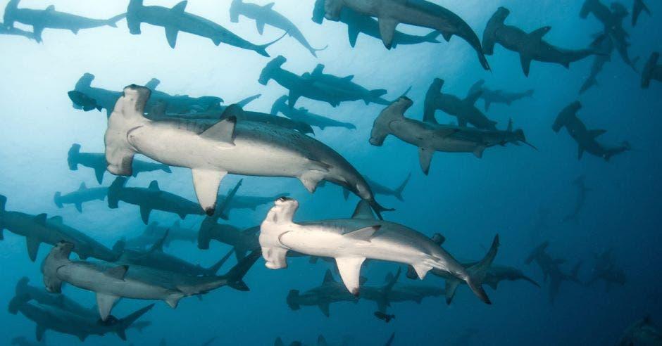 Cardumen de tiburón martillo