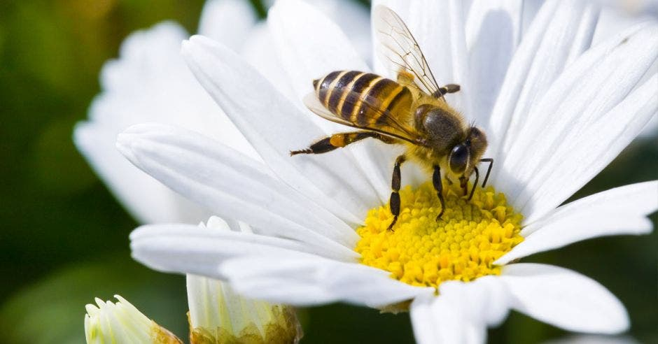 una abeja chupa miel de una flor