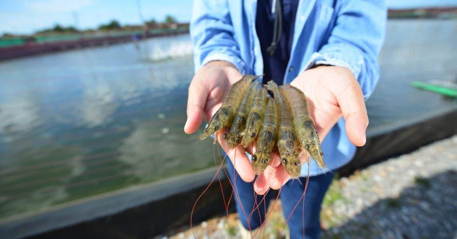 manos extendidas sosteniendo camarones del Pacífico