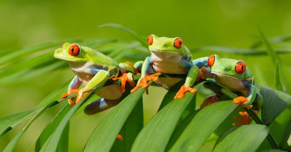 tres ranas verdes de ojos rojos sobre una hoja