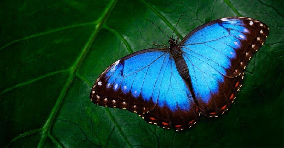 Morfo azul, peleidos morfo, gran mariposa sentada sobre hojas verdes
