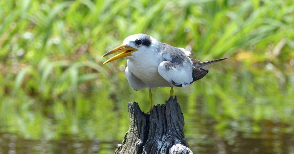 un pájaro blanco posado sobre un tronco que emerge del agua