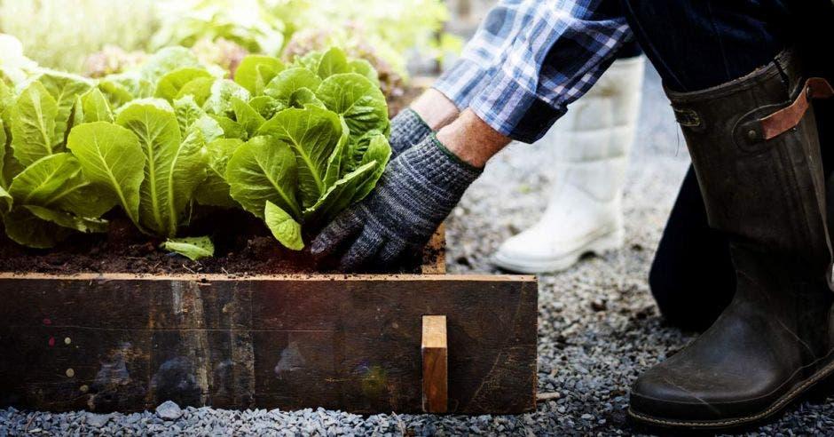 persona recoge verduras de un jardín