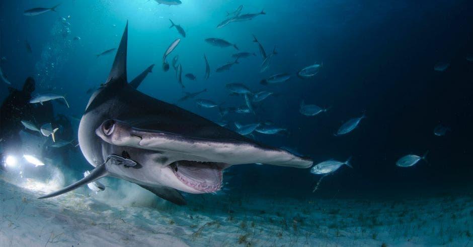 Tiburón martillo nadando entre buzos con boca abierta