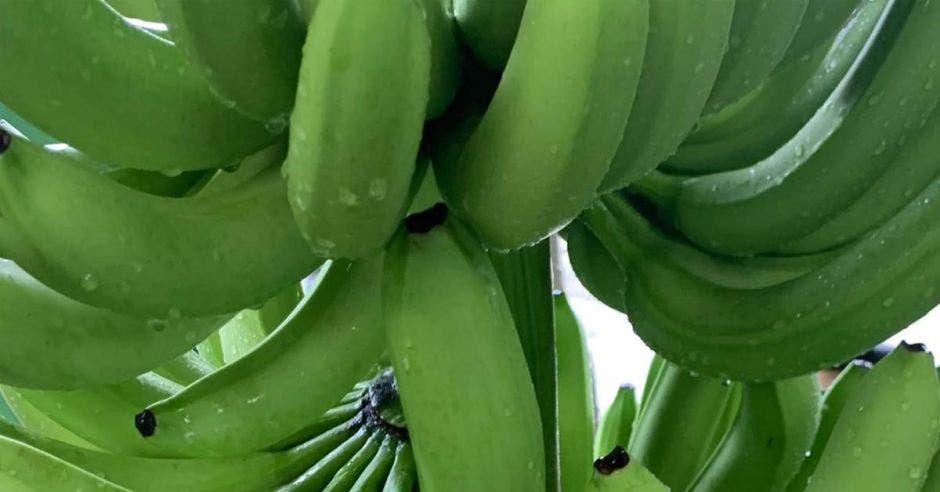 un racimo de bananos amarillos en medio de una plantación
