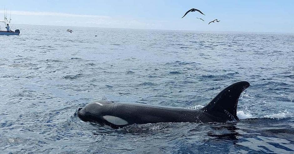 una orca nadando en el agua