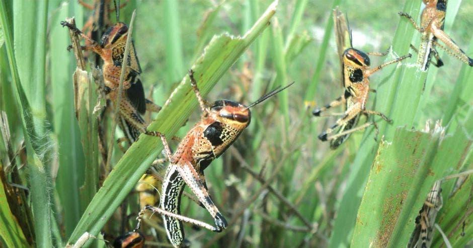 un conjunto de langostas sobre el pasto