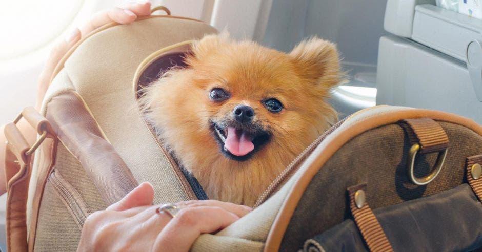 espitz pelomarmano de perro pequeño en una bolsa de viaje a bordo del avión