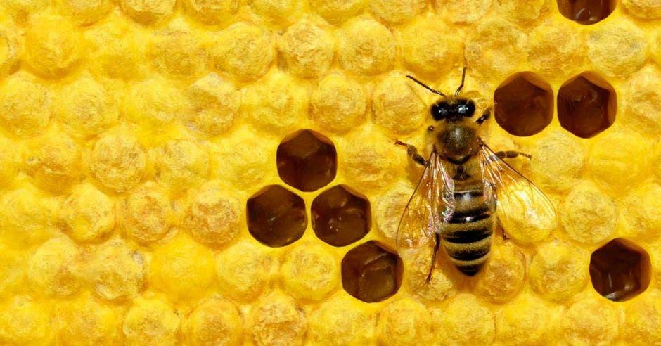 Una abeja se nutre de un panal