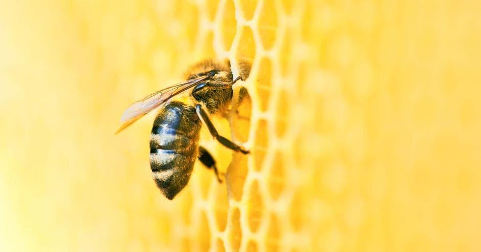 una abeja succionando miel de su panal