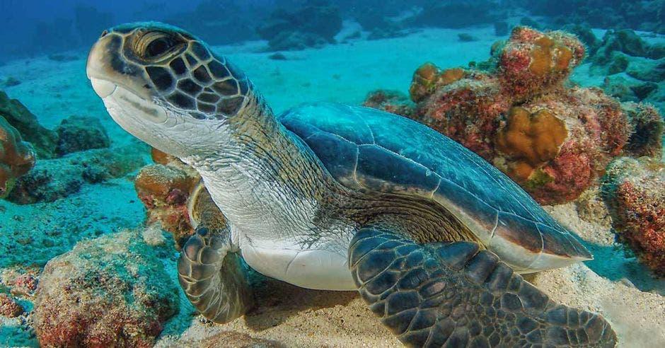 una tortuga nada en el fondo marino