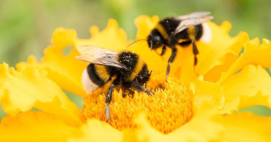 dos abejas polinizan girasoles