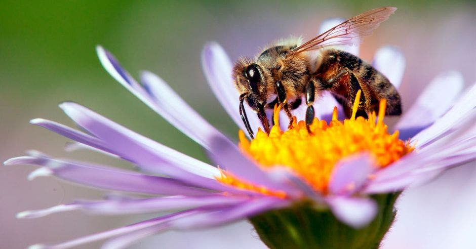 detalle de la abeja de miel en la abeja latina Apis Mellifera, europea o occidental sentada en la flor azul o violeta