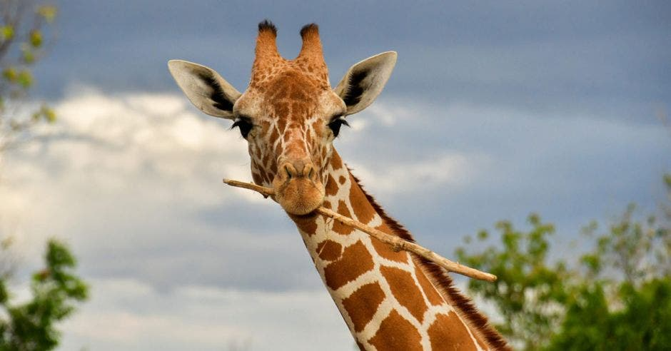 una jirafa sostiene un pequeño palo con su boca