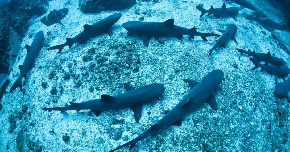 un grupo de tiburones en la superficie marina. Hay mantarrayas también visibles.