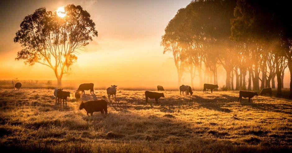 un potrero de vacas al amanecer, cubierto de neblina