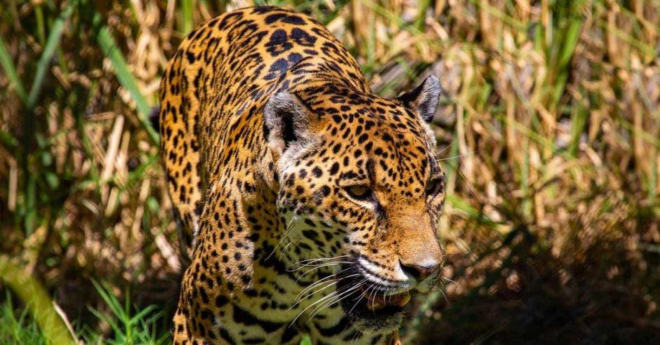 un jaguar saliendo de un pastizal