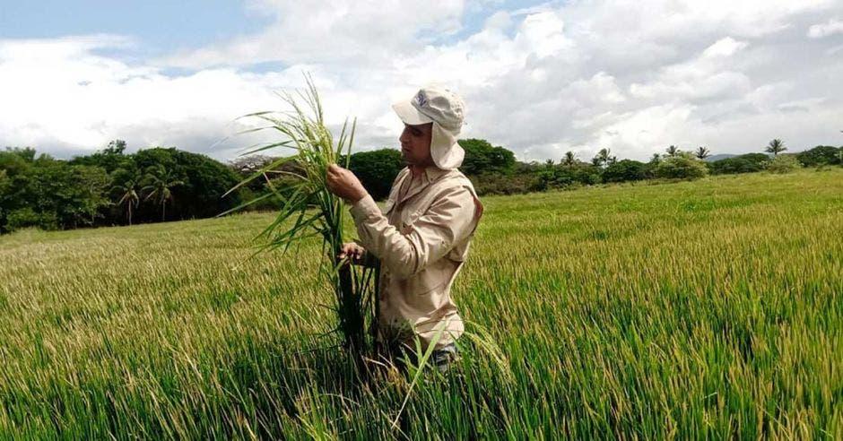un arrocero recoge su cosecha en el campo verde