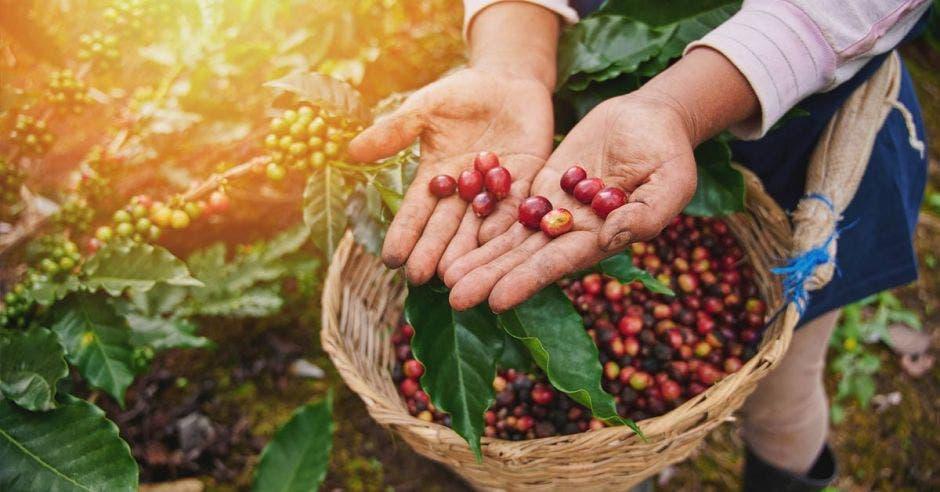 granos de café en canaste tejida y en manos abiertas