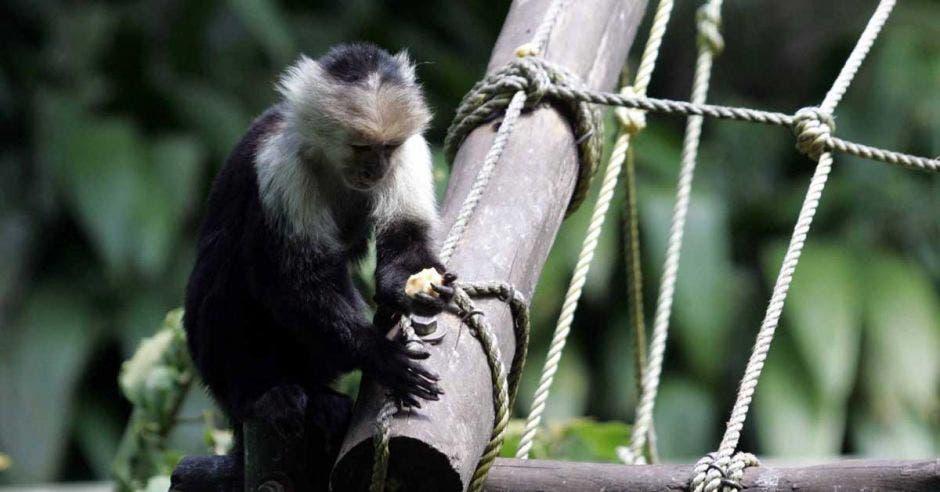 Mono en madera