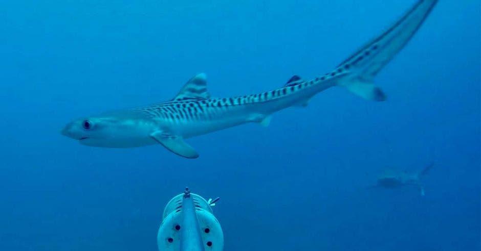 un tiburón tigre nadando en el mar pasa frente a una cámara acuática