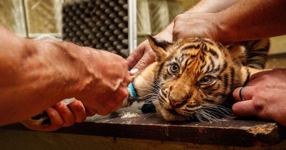 personal del zoológico vacuna un pequeño cachorro de tigre