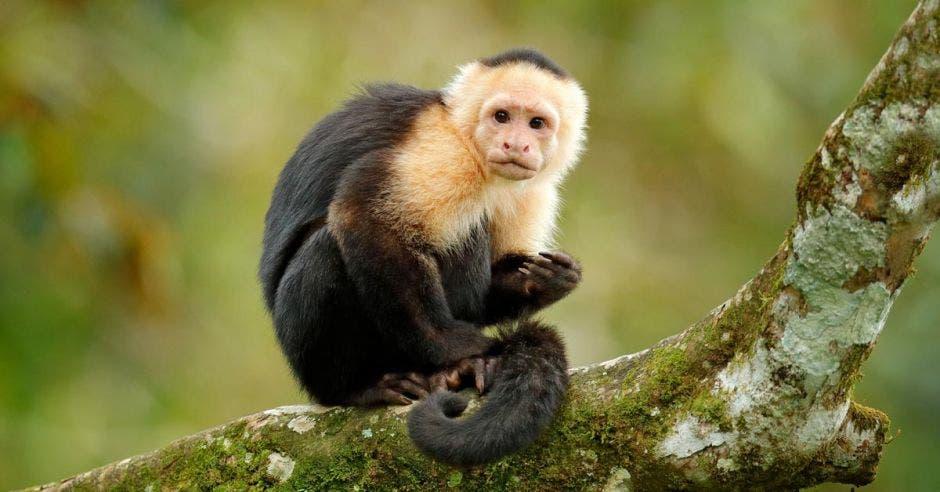 Capuchino de cabeza blanca, mono negro sentado en una rama de árbol en el oscuro bosque tropical