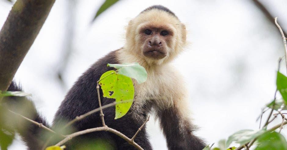 un mono capuchino en un árbol
