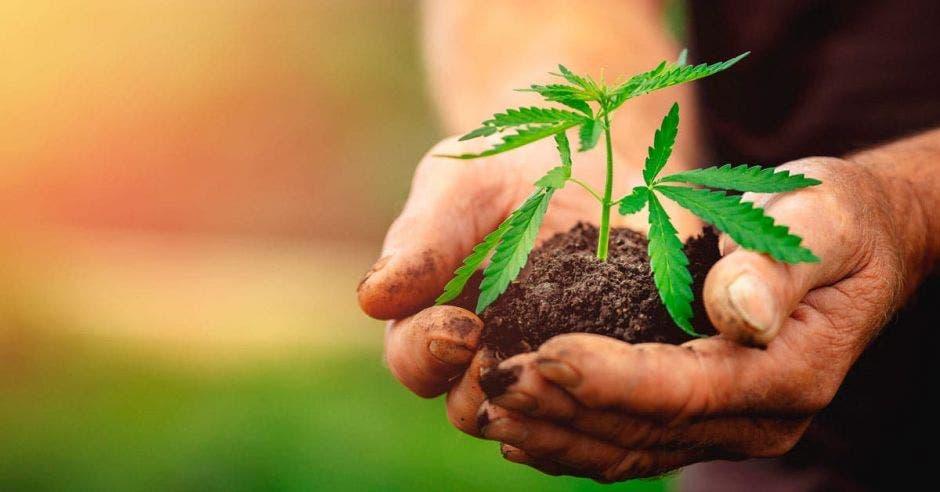Cannabis saliendo de la tierra