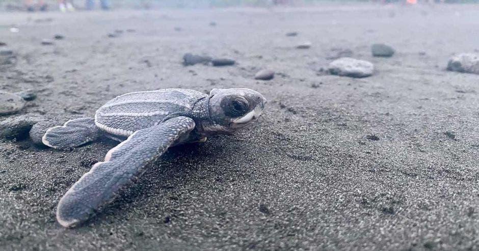 Tortuga recién salida del nido que avanza al mar