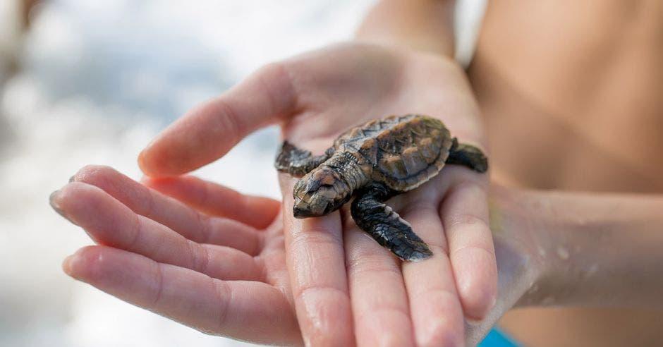tortuga pequeña sobre manos