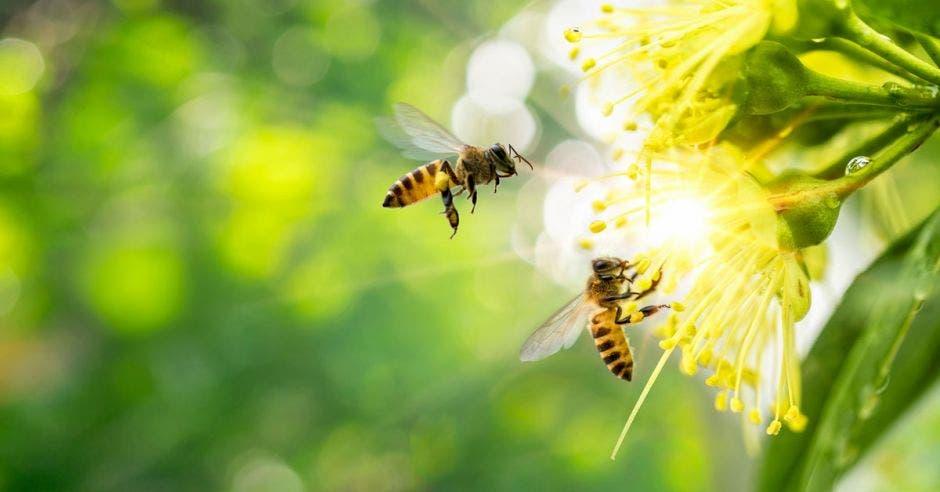 Dos abejas volando cerca de una flor